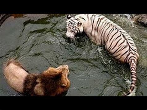 white tiger  lion real fight  death wild animals