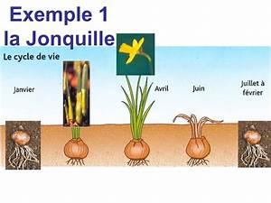 Planter Des Bulbes : quand planter des bulbes de jonquilles fleuriste bulldo ~ Dallasstarsshop.com Idées de Décoration