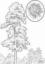 Pine Coloring Tree Pages State Minnesota Trees Drawing Printable Louisiana Cedar Drawings Line Cone Coconut Draw Sketch Template Alabama Pencil sketch template