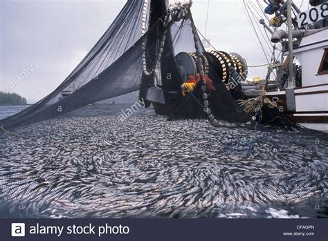 Fishing Boat Net by Commercial Fishing Boat Pulling Up Net Of Herring
