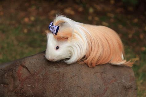 The Long Haired Guinea Pig Has The Most Majestic Hair Ever