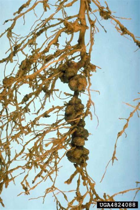 Nematode In Home Garden root knot nematode