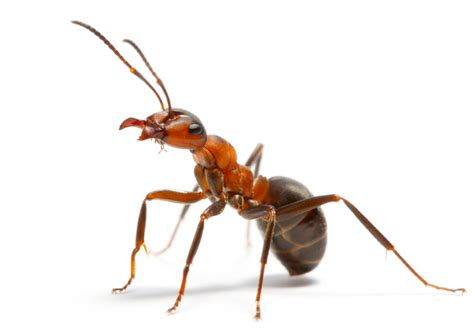 carpet for house ant treatments cairns pest removal paul s pest