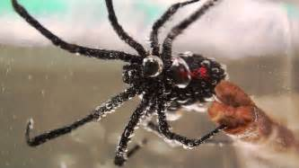 never flush spiders down the toilet black widow spiders