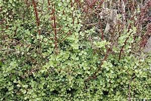Portulacaria afra | PLANTBOOK