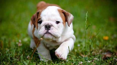bulldog puppy cute grass walkhd dog wallpaper