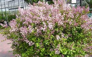 Zwergflieder Auf Stamm : zwerg flieder pflanze syringa meyerii 39 palibin ~ Lizthompson.info Haus und Dekorationen