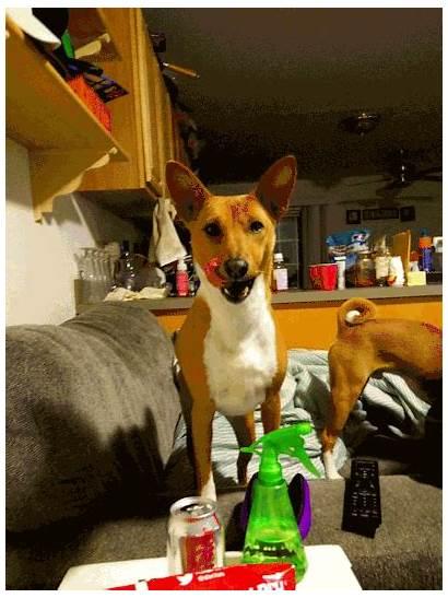 Persistent Pupillary Membrane Syndrome Fanconi Dog Basenji