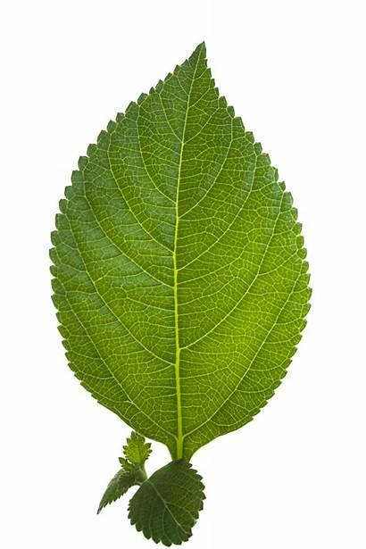 Leaf Nature Icon Freepngimg Type Downloads 5mb