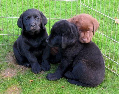 labrador welpen rassig schwarz braun von bella und chester