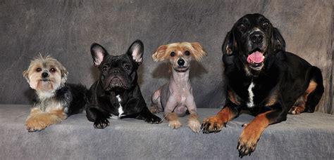 hundemantel französische bulldogge 800px