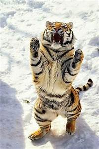 1000+ images ab... Wolf Vs Tiger Quotes