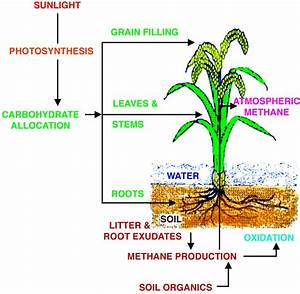 Photosynthate Allocations In Rice Plants  Food Production Or Atmospheric Methane