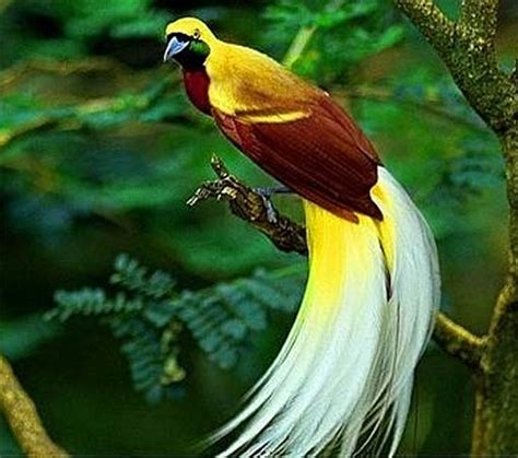 kaos putih motif gambar khas bali birds of paradise colorful prancer dancers animal