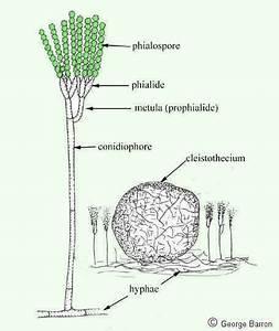 Penicillium Conidia Labeled Penicillium Co