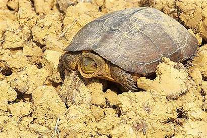 Turtle Endangered Looks Another Rice Paddy Yellow