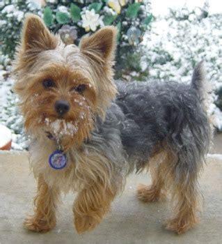yorkshire terrier puppies breeders terriers