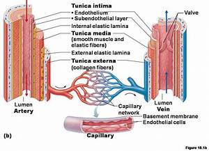 Artery And Vein Diagram