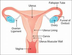 Draw A Well Labelled Diagram Of Female Reproductive System