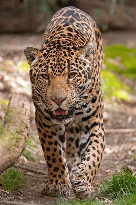 Jaguar 8256 By Robbobert On Deviantart Animal Photo