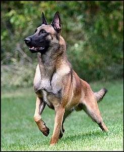 Breed of the Week: Belgian Malinois 11/30/2015 | Barking Bad