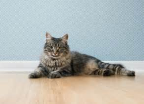 ibd in cats inflammatory bowel disease ibd in cats pets potential