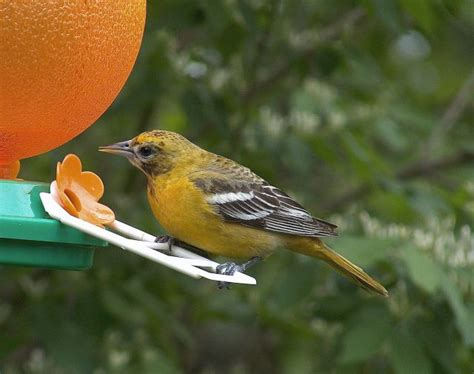 female northern oriole image only