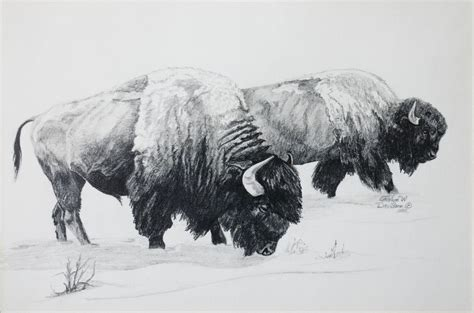 sketching buffalo bison pencil sketch american buffalo
