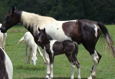 horse walking tennessee baby horses born colt cute spotted