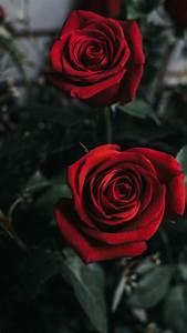 zwei rote blumenphotographie iphone xs max x 8 7 6