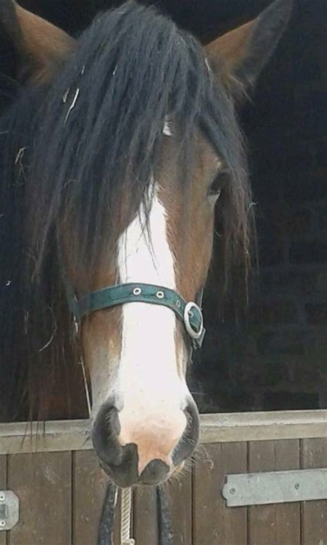 gentle shire horse giant ended ad horses