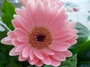 Desktop wallpaper, Pink Flower