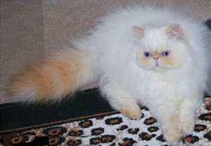 himalayan cats for himalayan cat animals wiki pictures stories