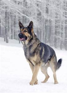 12 Reasons German Shepherds Are The Best-Looking Dogs In ...