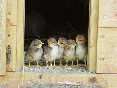 raising chickens  raising baby chicks   farmer