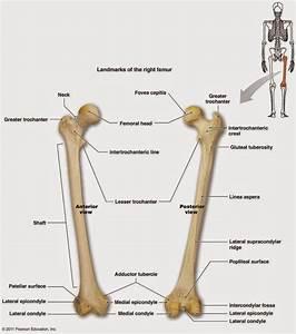 Neck  Femoral Head  Shaft  Medial Condyle  Medial Epicond