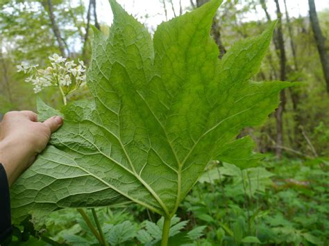 leaf plants pictures woodland plants with large leaves identify that plant