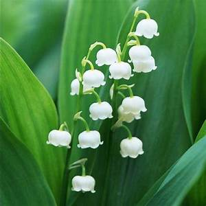 Lily Of The Valley Seeds White Color Perennial Summer