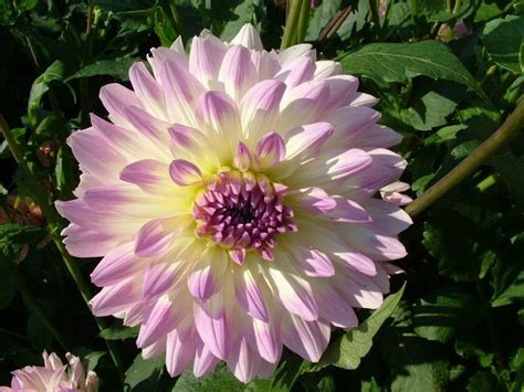 dahlia pic flowers wallpapers dahlias flowers wallpapers