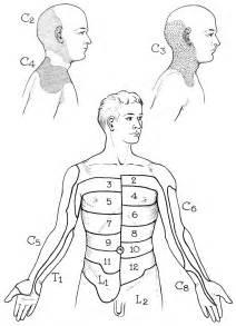 Arm Dermatome Distribution Chart