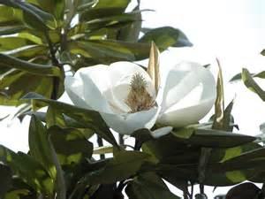 Best Gardening App by Evergreen Magnolia Trees Types Of Evergreen Magnolia Trees