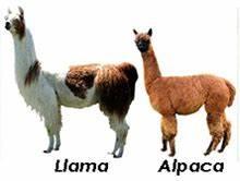 Llamas Vs Alpacas | www.pixshark.com - Images Galleries ...