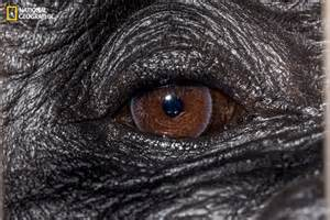 Gorilla National Geographic Eyes