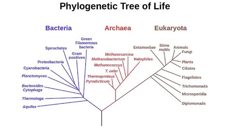 phylogenetic tree  life