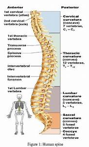 The Human Spine Diagram