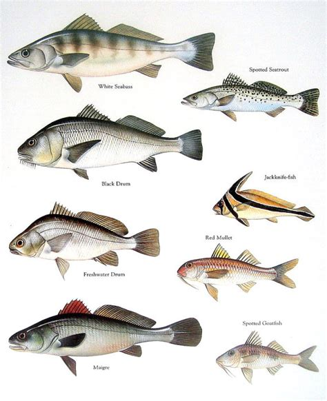 oh baby 006 fish print white seabass black drum spotted seatrout