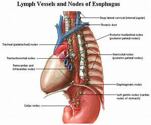 Anatomy Human  Anatomy Of The Esophagus Diagrams
