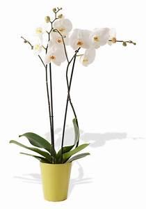 Cache Pot Orchidée : promo orchid e 2 branches avec cache pot des fleurs des fleurs etc francheville vente de ~ Teatrodelosmanantiales.com Idées de Décoration