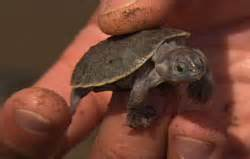 jean michel cousteau adventures turtles take the heat pbs