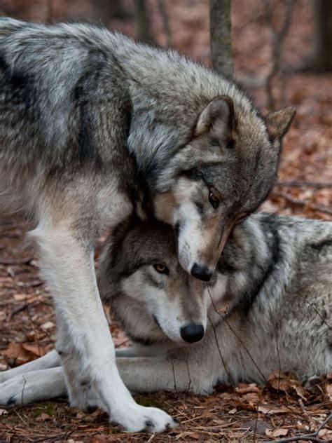 sonar  lobos la fuerza  te  tus suenos
